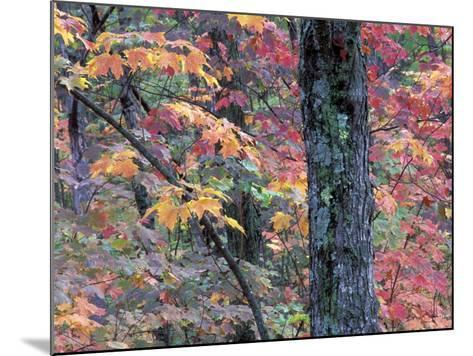 Forest Landscape and Fall Colors on Deciduous Trees, Lake Superior National Forest, Minnesota, USA-Gavriel Jecan-Mounted Photographic Print