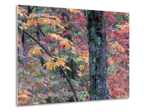Forest Landscape and Fall Colors on Deciduous Trees, Lake Superior National Forest, Minnesota, USA-Gavriel Jecan-Metal Print