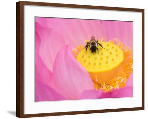 Perry's Water Garden, Lotus Blossom and Bee, Franklin, North Carolina, USA-Joanne Wells-Framed Art Print