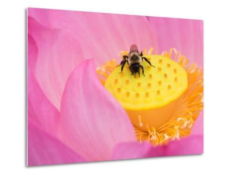 Perry's Water Garden, Lotus Blossom and Bee, Franklin, North Carolina, USA-Joanne Wells-Metal Print