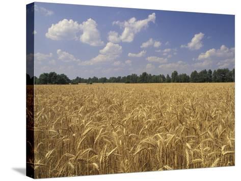 Wheat Crop, Tennessee, USA-Adam Jones-Stretched Canvas Print