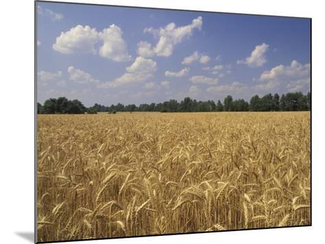 Wheat Crop, Tennessee, USA-Adam Jones-Mounted Photographic Print