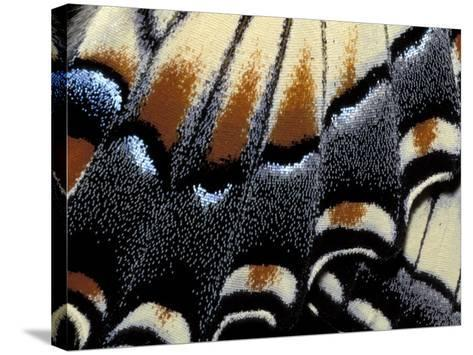 Eastern Tiger Swallowtail Butterfly Wing, Great Smoky Mountains National Park, Tennessee, USA-Darrell Gulin-Stretched Canvas Print