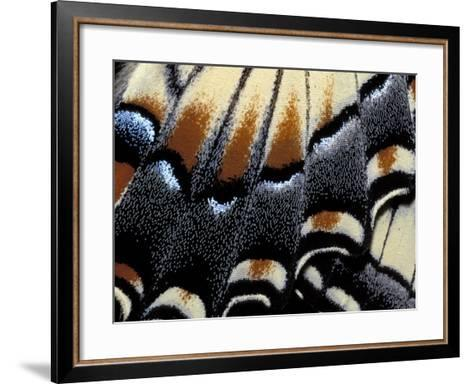 Eastern Tiger Swallowtail Butterfly Wing, Great Smoky Mountains National Park, Tennessee, USA-Darrell Gulin-Framed Art Print