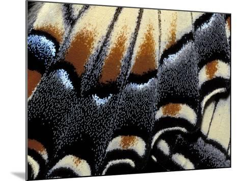Eastern Tiger Swallowtail Butterfly Wing, Great Smoky Mountains National Park, Tennessee, USA-Darrell Gulin-Mounted Photographic Print