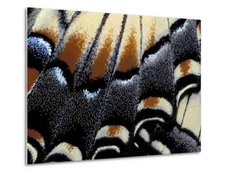 Eastern Tiger Swallowtail Butterfly Wing, Great Smoky Mountains National Park, Tennessee, USA-Darrell Gulin-Metal Print
