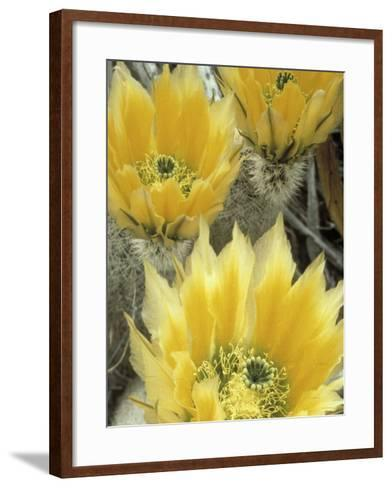 Flowers in Chihuahuan Desert, Big Bend National Park, Texas, USA-Scott T^ Smith-Framed Art Print