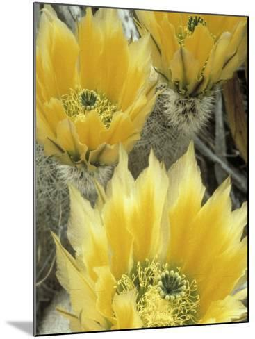Flowers in Chihuahuan Desert, Big Bend National Park, Texas, USA-Scott T^ Smith-Mounted Photographic Print