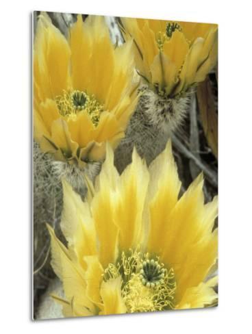 Flowers in Chihuahuan Desert, Big Bend National Park, Texas, USA-Scott T^ Smith-Metal Print