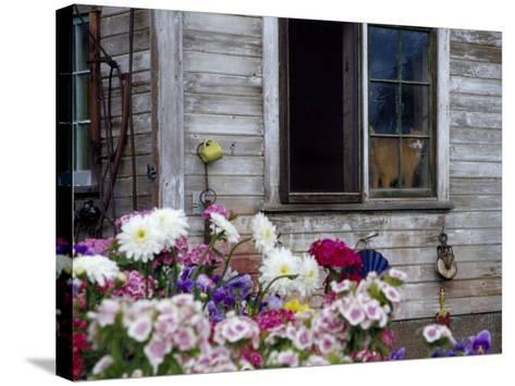 Old Barn with Cat in the Window, Whitman County, Washington, USA-Julie Eggers-Stretched Canvas Print