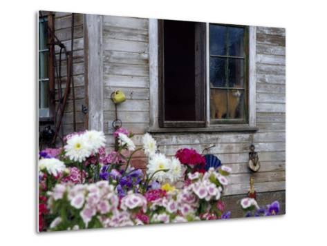 Old Barn with Cat in the Window, Whitman County, Washington, USA-Julie Eggers-Metal Print
