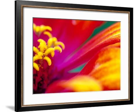 Whirligig Zinnia, Seattle, Washington, USA-Terry Eggers-Framed Art Print