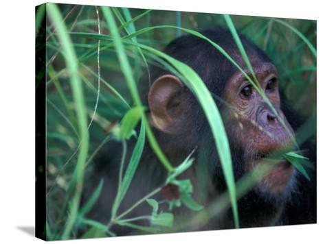 Female Chimpanzee Rolls the Leaves of a Plant, Gombe National Park, Tanzania-Kristin Mosher-Stretched Canvas Print