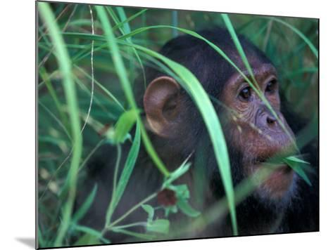 Female Chimpanzee Rolls the Leaves of a Plant, Gombe National Park, Tanzania-Kristin Mosher-Mounted Photographic Print