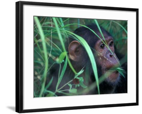Female Chimpanzee Rolls the Leaves of a Plant, Gombe National Park, Tanzania-Kristin Mosher-Framed Art Print