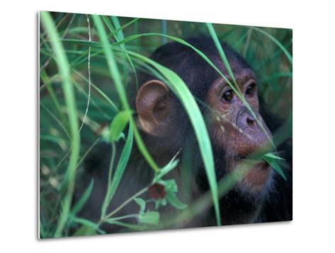 Female Chimpanzee Rolls the Leaves of a Plant, Gombe National Park, Tanzania-Kristin Mosher-Metal Print
