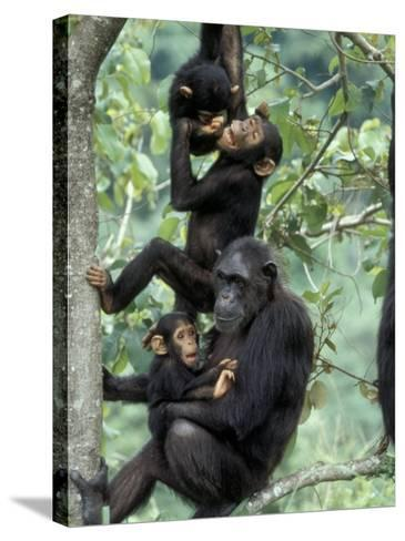 Young Male Chimpanzees Play, Gombe National Park, Tanzania-Kristin Mosher-Stretched Canvas Print