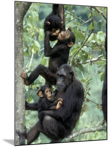 Young Male Chimpanzees Play, Gombe National Park, Tanzania-Kristin Mosher-Mounted Photographic Print