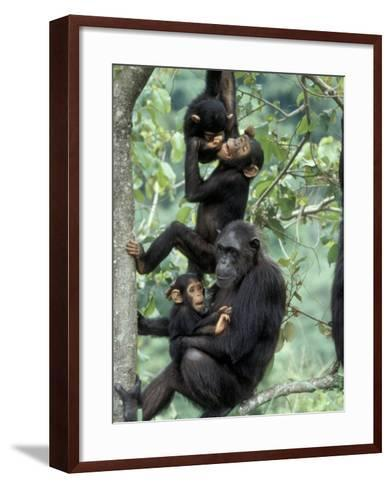 Young Male Chimpanzees Play, Gombe National Park, Tanzania-Kristin Mosher-Framed Art Print