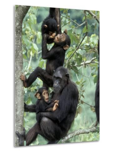 Young Male Chimpanzees Play, Gombe National Park, Tanzania-Kristin Mosher-Metal Print