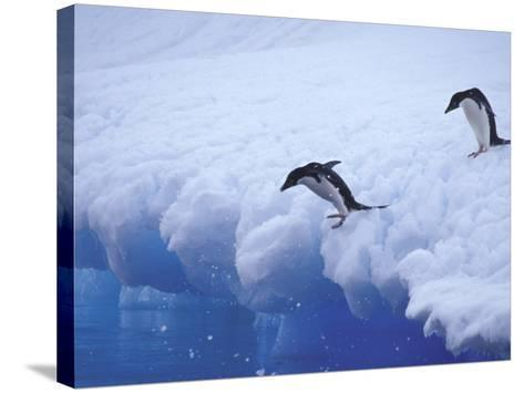Adelie Penguins Dive from an Iceberg, Antarctica-Hugh Rose-Stretched Canvas Print
