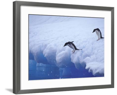 Adelie Penguins Dive from an Iceberg, Antarctica-Hugh Rose-Framed Art Print