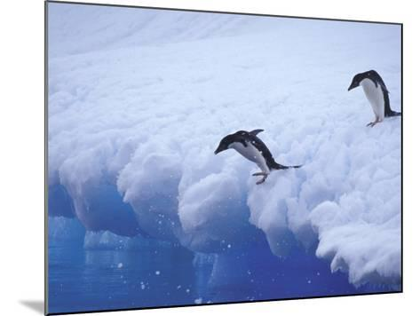 Adelie Penguins Dive from an Iceberg, Antarctica-Hugh Rose-Mounted Photographic Print