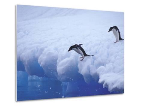 Adelie Penguins Dive from an Iceberg, Antarctica-Hugh Rose-Metal Print