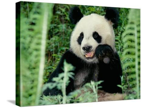 Panda in the Forest, Wolong, Sichuan, China-Keren Su-Stretched Canvas Print