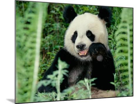 Panda in the Forest, Wolong, Sichuan, China-Keren Su-Mounted Photographic Print