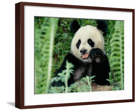 Panda in the Forest, Wolong, Sichuan, China-Keren Su-Framed Art Print
