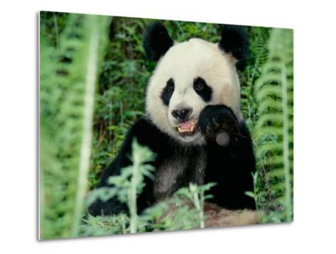 Panda in the Forest, Wolong, Sichuan, China-Keren Su-Metal Print