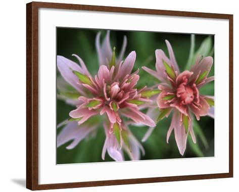Indian Paintbrush, Banff National Park, Alberta, Canada-Rob Tilley-Framed Art Print