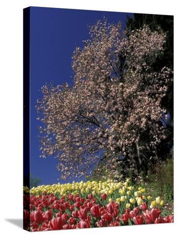 Tulips and Magnolia tree, Cincinatti, Ohio, USA-Adam Jones-Stretched Canvas Print