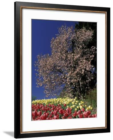 Tulips and Magnolia tree, Cincinatti, Ohio, USA-Adam Jones-Framed Art Print