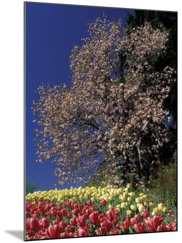 Tulips and Magnolia tree, Cincinatti, Ohio, USA-Adam Jones-Mounted Photographic Print
