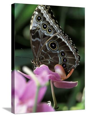 Blue Morpho Butterfly-Adam Jones-Stretched Canvas Print