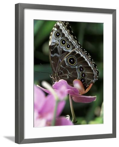 Blue Morpho Butterfly-Adam Jones-Framed Art Print