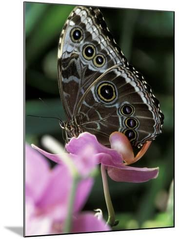 Blue Morpho Butterfly-Adam Jones-Mounted Photographic Print