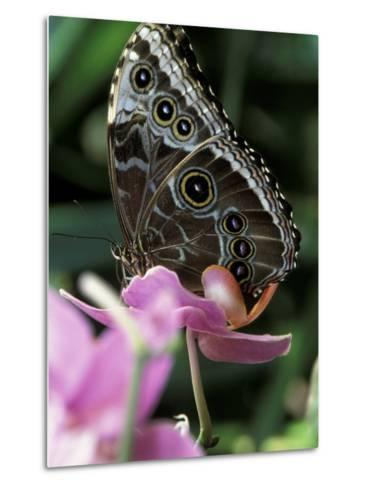 Blue Morpho Butterfly-Adam Jones-Metal Print