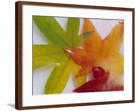 Frozen Maple Tree Leaves-Daisy Gilardini-Framed Art Print