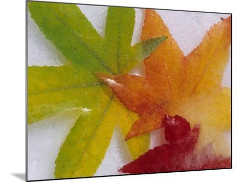 Frozen Maple Tree Leaves-Daisy Gilardini-Mounted Photographic Print