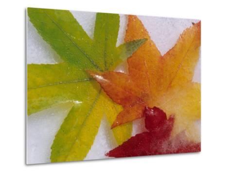 Frozen Maple Tree Leaves-Daisy Gilardini-Metal Print