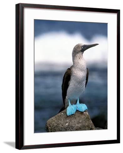 Blue Footed Booby, Galapagos Islands, Ecuador-Gavriel Jecan-Framed Art Print
