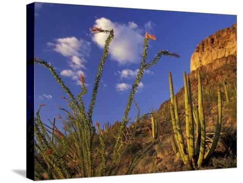 Organ Pipe Cactus with Ocotillo, Organ Pipe Cactus National Monument, Arizona, USA-Jamie & Judy Wild-Stretched Canvas Print