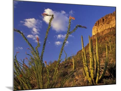 Organ Pipe Cactus with Ocotillo, Organ Pipe Cactus National Monument, Arizona, USA-Jamie & Judy Wild-Mounted Photographic Print