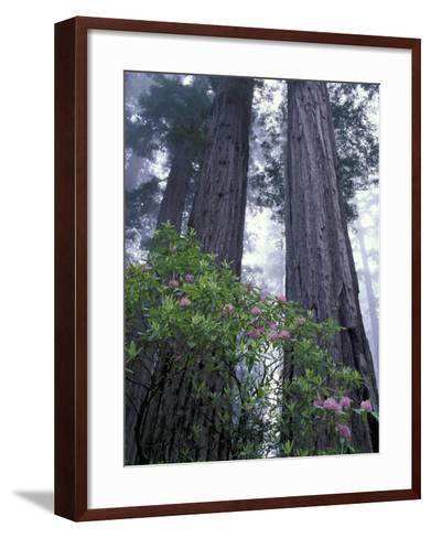 Coast Trail, Redwoods and Rhododendrons, Del Norte Coast State Park, California, USA-Jamie & Judy Wild-Framed Art Print