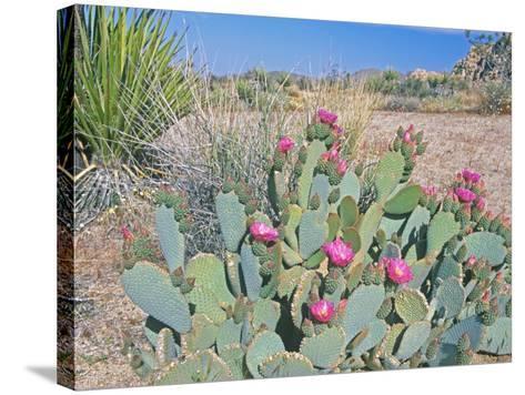 Beavertail Cactus, Joshua Tree National Park, California, USA-Rob Tilley-Stretched Canvas Print