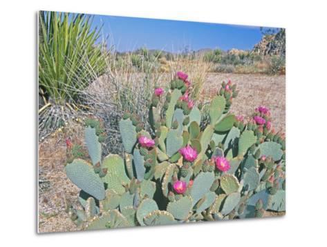 Beavertail Cactus, Joshua Tree National Park, California, USA-Rob Tilley-Metal Print
