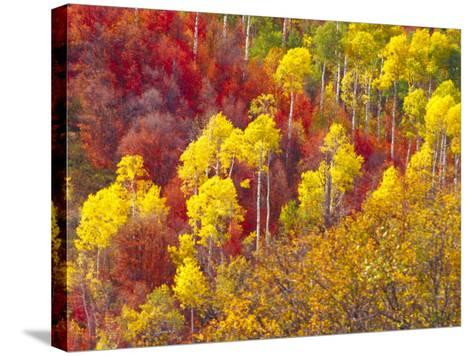 Colorful Aspens in Logan Canyon, Utah, USA-Julie Eggers-Stretched Canvas Print